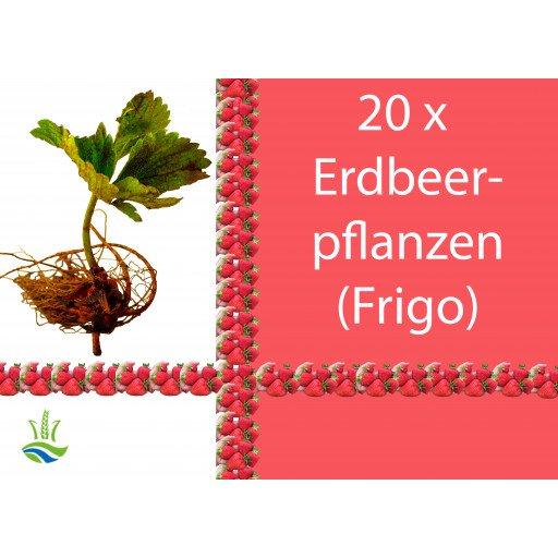 20 x Erdbeerpflanzen Elsanta (Frigo)
