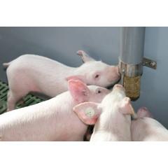PigDig in Aktion